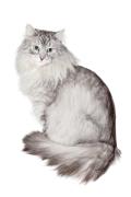 Siberian Cat, Siberian Cat Pet Insurance