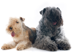 Terrier, Pet Insurance for Terriers