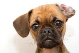Pug cross, Pug Cross Pet Insurance