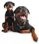 Rottweiler, Rottweiler Insurance UK