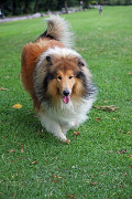 Rough Collie, Rough Collie Pet Insurance