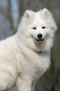 Samoyed, Samoyed Pet Insurance