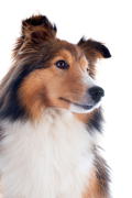 Sheltie, Shetland Sheepdog Insurance