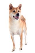 Shiba Inu, Shiba Inu Pet Insurance