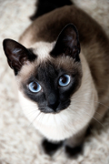 Siamese, Siamese Cat Insurance