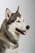 Siberian Husky Insurance