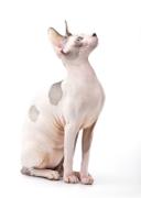 Sphynx, Sphynx Cat Insurance