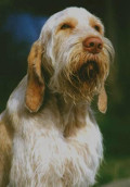 Spinone, Spinone Pet Insurance