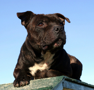 Staffie, Staffordshire Bull Terrier Pet Insurance