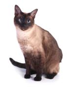 Tonkinese, Tonkinese Cat Insurance