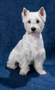 Westie, West Highland Terrier Insurance
