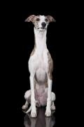 Whippet, Whippet Pet Insurance
