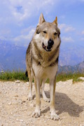 , Wolf Dog liability insurance