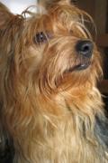 Yorkshire Terrier, Yorkshire Terrier Insurance